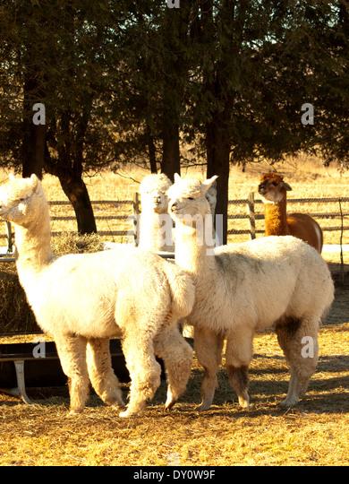 Mohair fleece stock photos mohair fleece stock images for Alpaca view farm cuisine