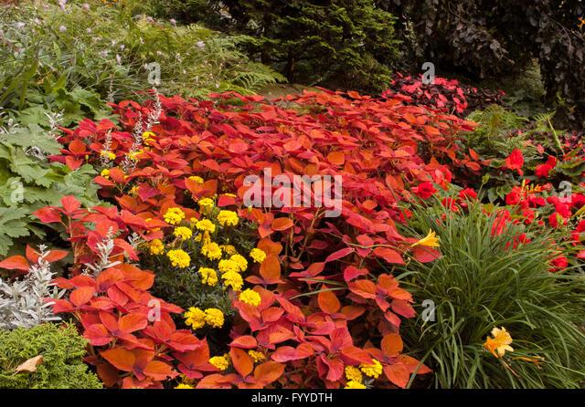 Coleus In Landscaped Garden   Stock Image