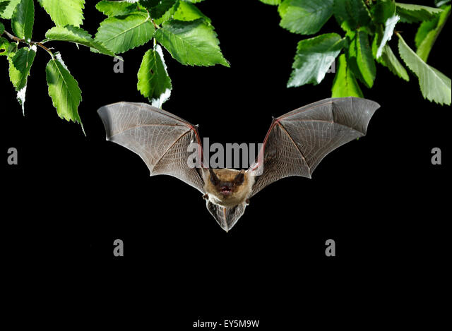 flying at night Bats: flying mammals active at night even though bats belong to the mammal family, rather than being classified as birds, i still included them on this website in the spirit of public education and the conservation of this intriguing and highly useful animal.