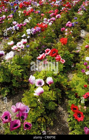 anemone coronaria de caen stock photos anemone coronaria de caen stock images alamy. Black Bedroom Furniture Sets. Home Design Ideas