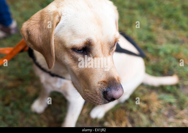 how to become a seeing eye dog trainer