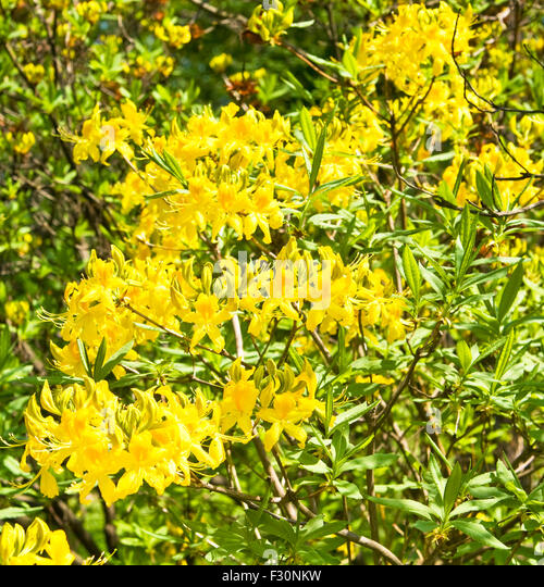 branch tropical rhododendron plant yellow stock photos  branch, Beautiful flower