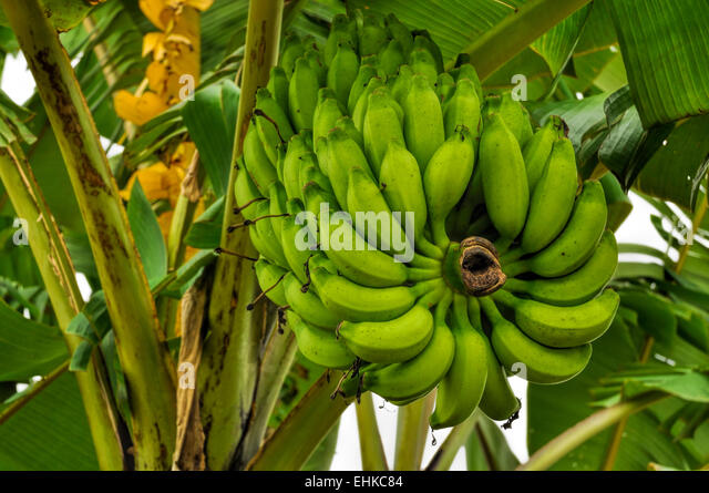 Bananas Growing On Tree Stock Photos & Bananas Growing On ...