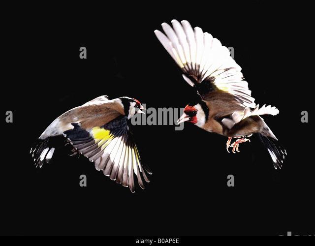 Verdier stock photos verdier stock images alamy for Oiseau france