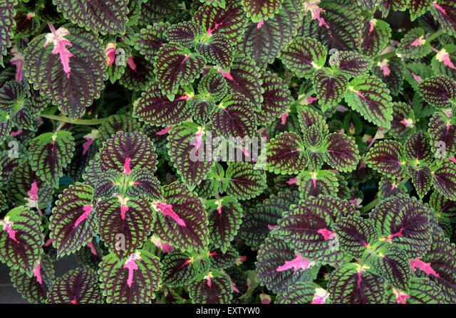 leaves of green coleus ornamental plant stock photos  leaves of, Natural flower