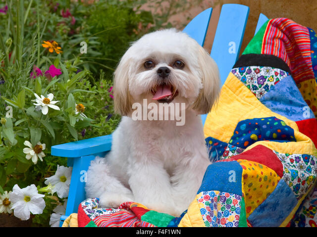 Beautiful Shih Tzu Puppy Sitting On A Colorful Quilt In A Garden (MR).