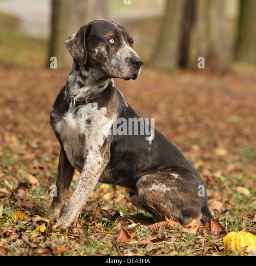 catahoula stock photos  u0026 catahoula stock images