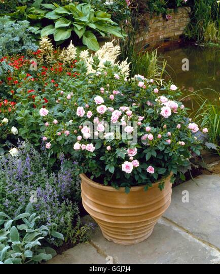 Container   Roses   Planted With A Patio Rose CTR022689   Stock Image