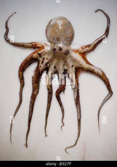 baby octopus stock photos - photo #9