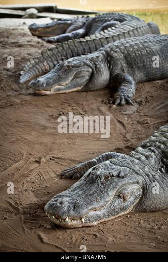 Alligator Land Myrtle Beach Sc