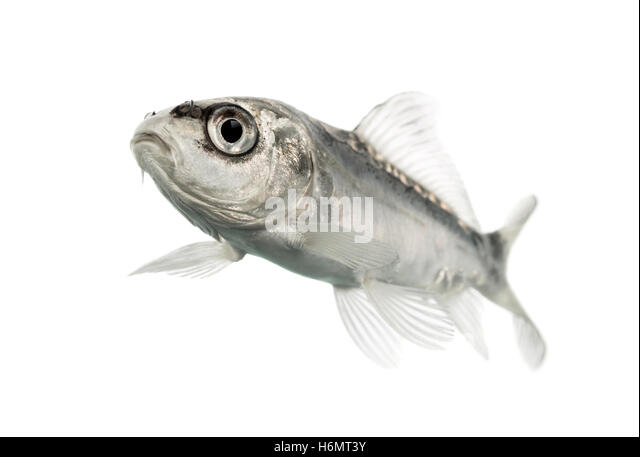 Koi fish wild stock photos koi fish wild stock images for Grey koi fish