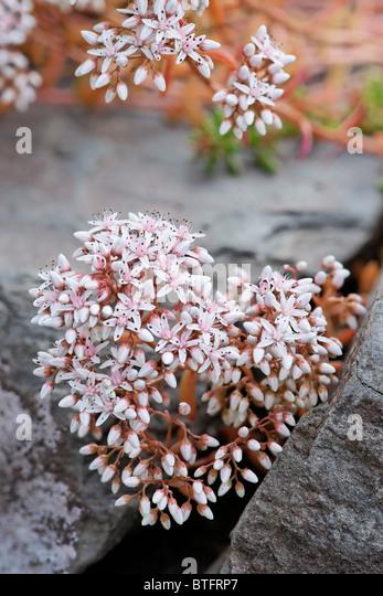 Rock stonecrop stock photos rock stonecrop stock images alamy - Sedum album coral carpet ...