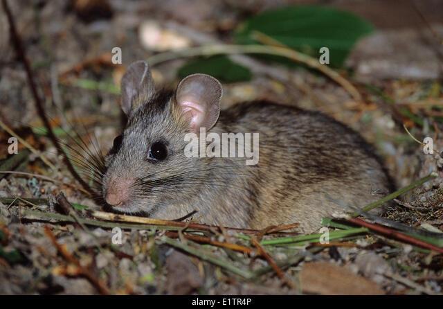 southern plains woodrat. bushy-tailed woodrat, neotoma cinerea, southern bc. spotted owl prey, bc plains woodrat