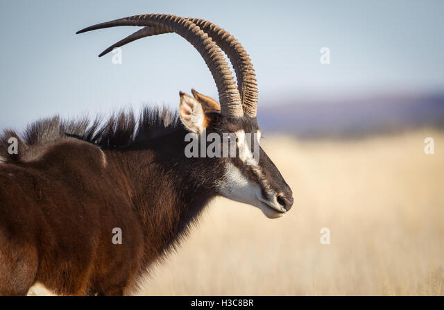 Sable Antelope South A...