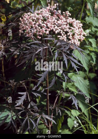 sambucus nigra f porphyrophylla stock photos sambucus. Black Bedroom Furniture Sets. Home Design Ideas