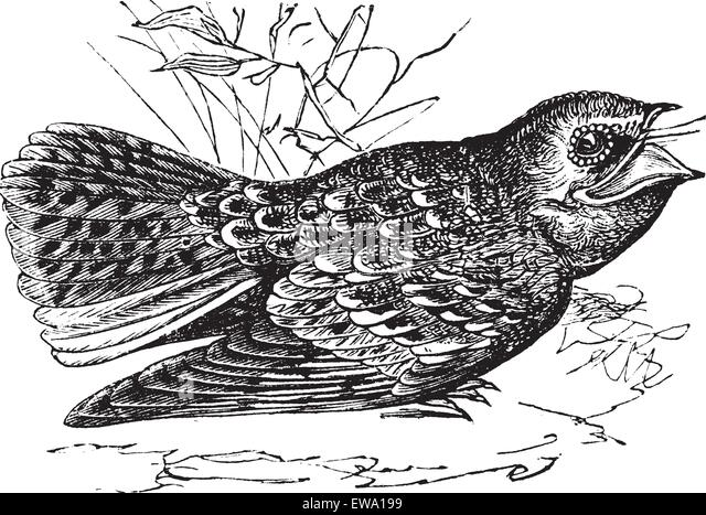 Common Nighthawk Coloring Page