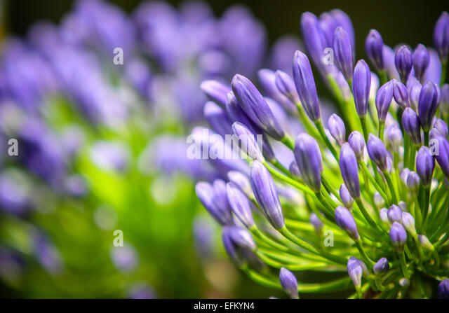 Isles Of Scilly Agapanthus Stock Photos Amp Isles Of Scilly