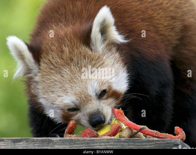 red panda eating stock photos amp red panda eating stock