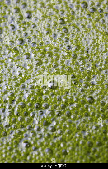 Pond scum stock photos pond scum stock images alamy for Green pond water