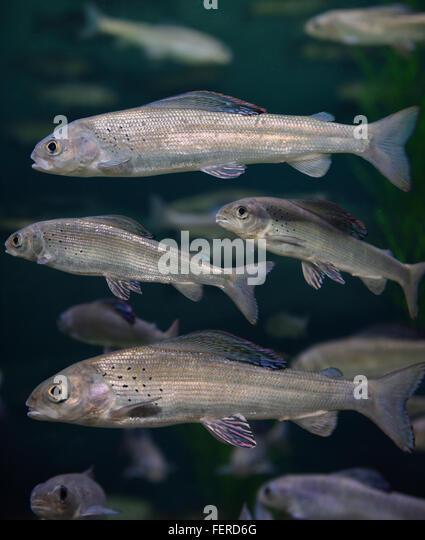 Shoaling stock photos shoaling stock images alamy for Freshwater schooling fish