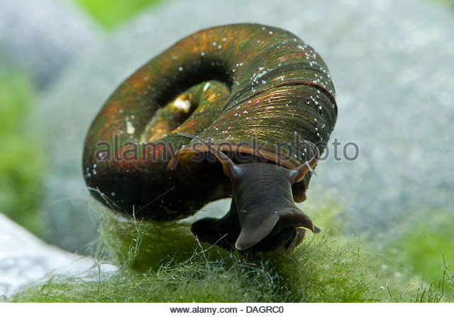 horn-colored rams horn, great ramshorn (trumpet shell) (Planorbarius ...
