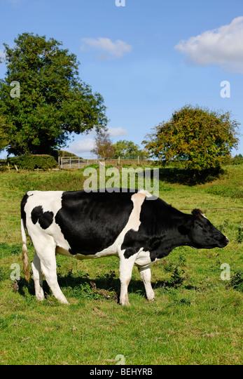 Udder Holstein Friesian Cow Milking Stock Photos & Udder ...