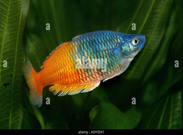coral rainbow fish (Melanotaenia boesemani) - Stock Image