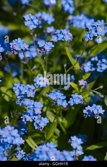blaue blume stock photos blaue blume stock images alamy. Black Bedroom Furniture Sets. Home Design Ideas