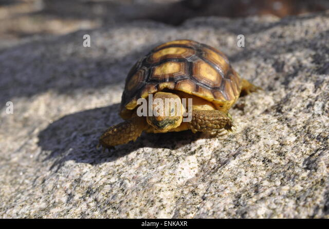 Baby Tortoise Stock Photos & Baby Tortoise Stock Images ...