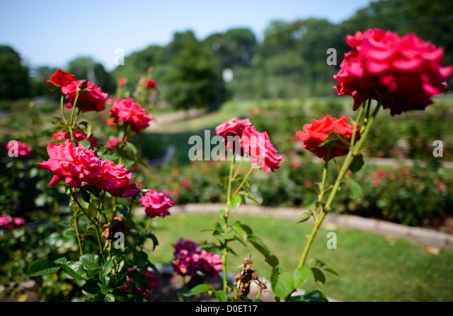 Four Red Roses Stock Photos Four Red Roses Stock Images