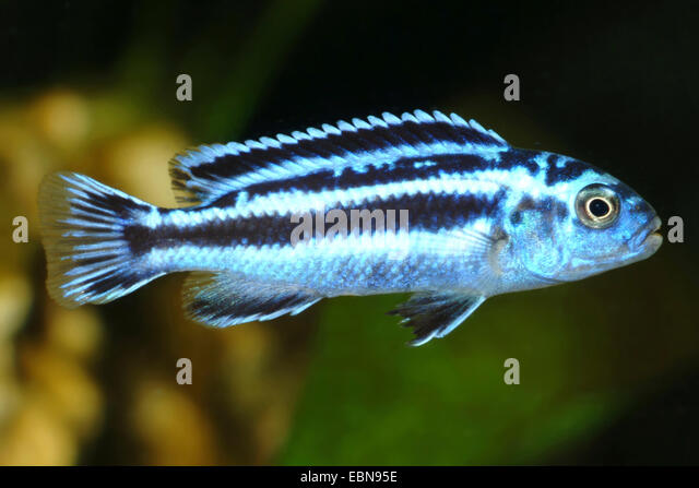Malawi cichlid stock photos malawi cichlid stock images for Malawi buntbarsch