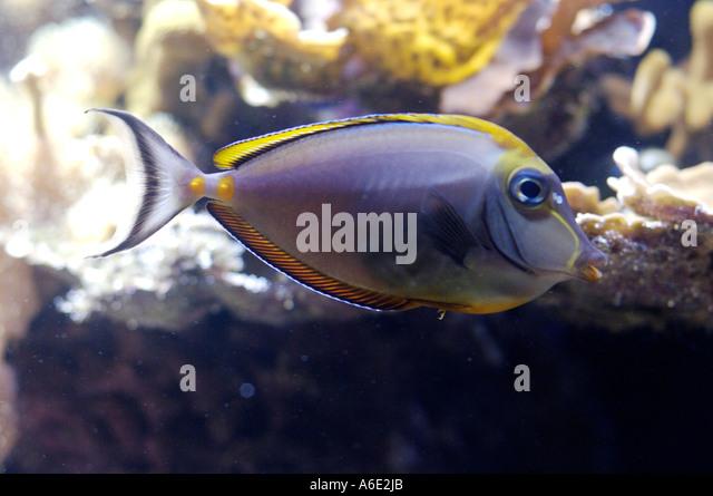 Lituratus stock photos lituratus stock images alamy for Jb tropical fish