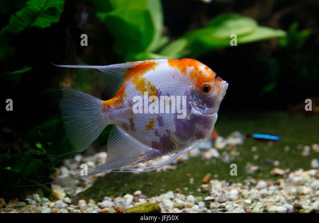 Scalare pterophyllum scalare stock photos scalare for Skalar aquarium
