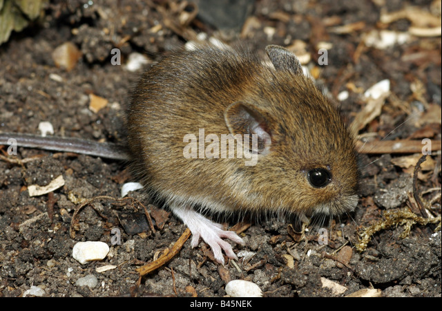 Muridae stock photos muridae stock images alamy for Soil zoology
