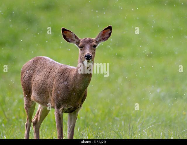 Roseburg Oregon USA 27th March 2013 A Wild Black Tailed Deer