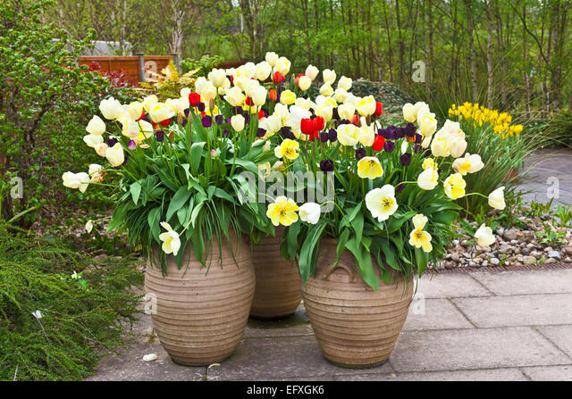 red blue and golden tulips in large ceramic planters on a flagged flagged patio - Large Ceramic Planters