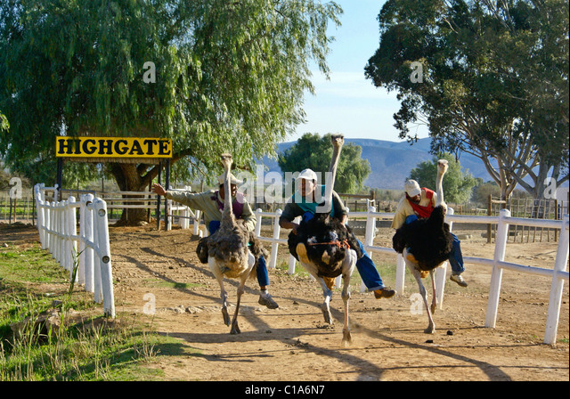 ostrich racing stock photos amp ostrich racing stock images