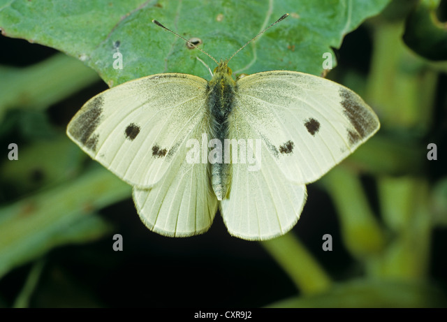 how to stop cabbage white butterfly