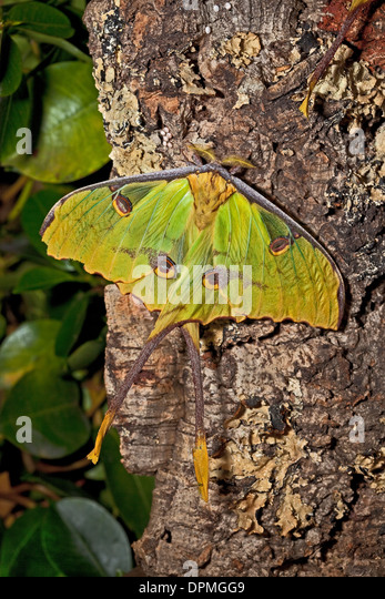 African Moth Stock Photos & African Moth Stock Images - Alamy