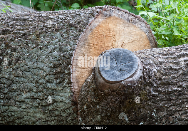 how to cut down a big tree yourself