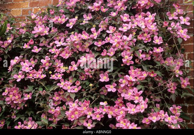 clematis montana tetrarose stock photos clematis montana. Black Bedroom Furniture Sets. Home Design Ideas