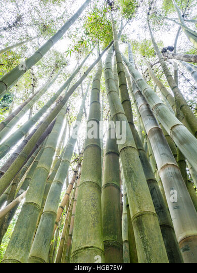 grove of giant bamboo from below a grove of green and growing bamboo pictured from - Growing Bamboo