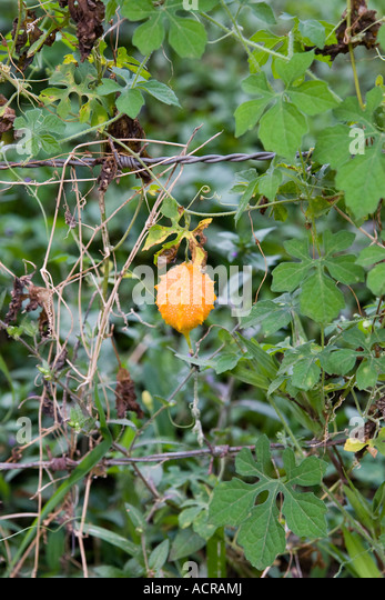Wild Balsam Apple Stock Photos &amp- Wild Balsam Apple Stock Images ...