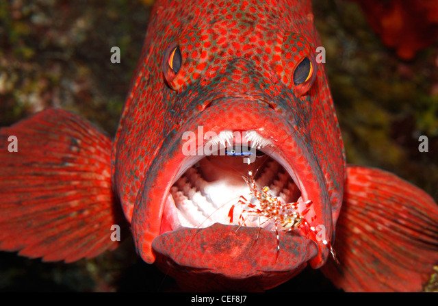 an-adult-tomato-cod-or-grouper-cephaloph