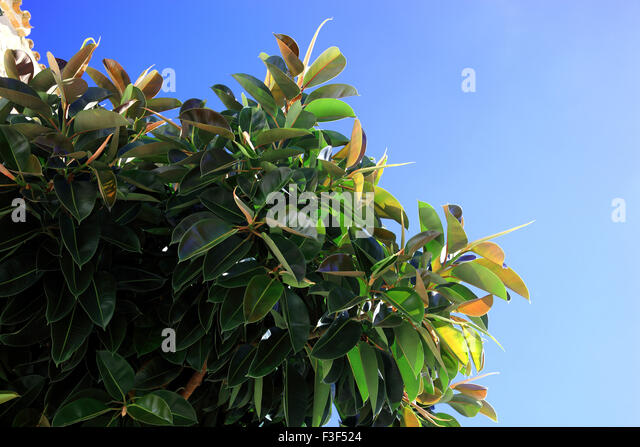 Rubber Fig, Leaves, Ficus Elastica   Stock Image