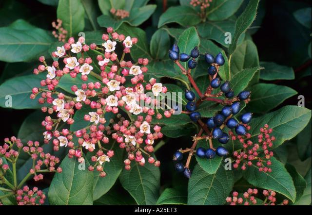 viburnum tinus 39 gwenllian 39 stock photo picture and. Black Bedroom Furniture Sets. Home Design Ideas