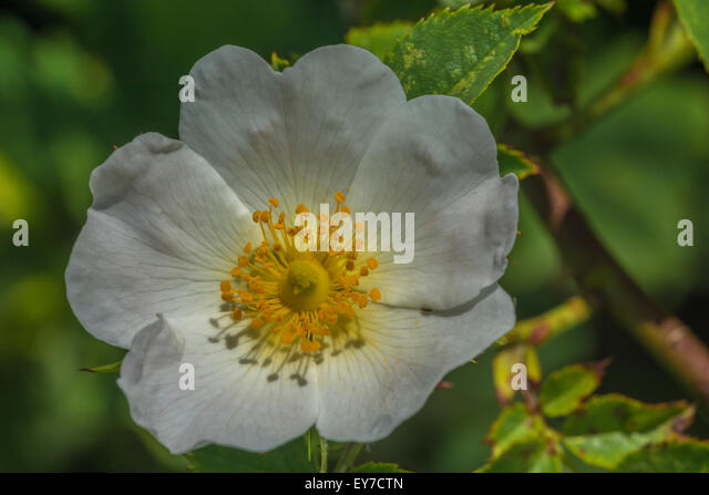 the wild dog rose and the The dog-rose is the most common wild rose in ireland you may know it by a different name have you ever heard of sweet briar, briar rose, witches' briar or hip rose.