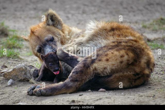 Hyena Offspring Brown Hyenas Stock Pho...