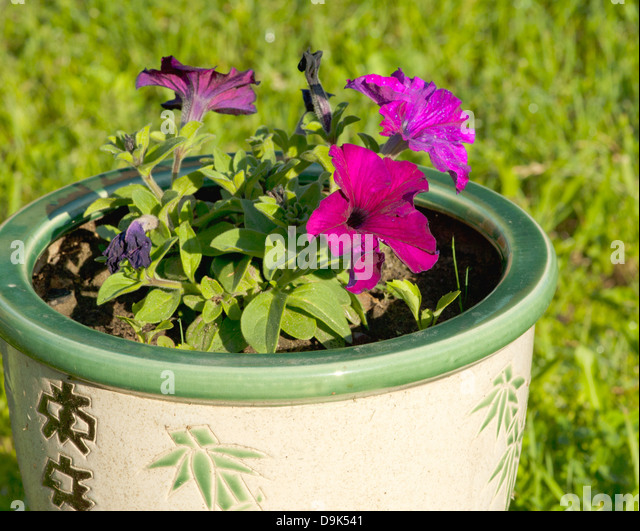 Growing petunias stock photos growing petunias stock images alamy - Growing petunias pots balconies porches ...