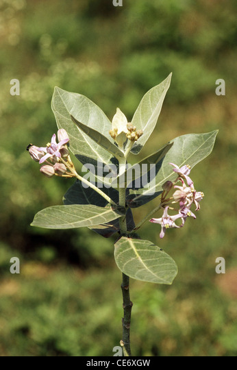 how to grow calotropis gigantea